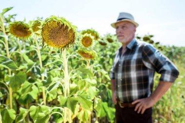 Selective focus of blooming sunflowers near bearded farmer stock vector