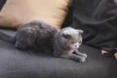 Photo gray scottish fold cat on sofa with pillows