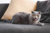 szürke skót fold macska nyávog a kanapén párnákkal