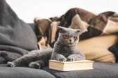 gray scottish fold cat on sofa with book