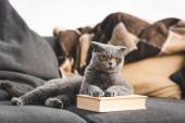 graue schottische Faltkatze auf Sofa mit Buch