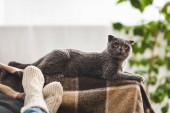 Fényképek skót fold macska feküdt takarón közel nő kanapén