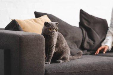 Scottish Fold cat sitting on sofa near woman stock vector