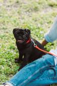 Szelektív fókusz a mopszli kutya közelében ülő idős nő füvön a parkban