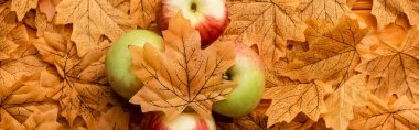 Top view of ripe tasty apples and autumnal foliage, panoramic shot stock vector
