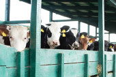Photo herd of spotted cows with yellow tags near in cowshed