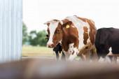 selektivní zaměření krav s hnědými a bílými skvrnami na mléčné farmě