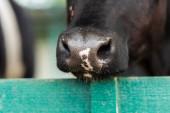 zblízka pohled na černobílé skvrnité krávy nos v blízkosti dřevěného plotu