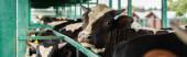 horizontální koncept tečkované krávy ve stádu u kravského plotu, selektivní zaměření