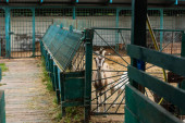 Photo selective focus of spotted goat with white cub in corral on farm