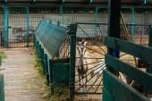 selektivní zaměření skvrnité kozy s bílým mládětem v ohradě na farmě