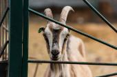 skvrnitá koza s rohy u ohrady na farmě