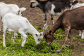 selective focus of brown goat and white cub eating grass on farm