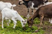 selektivní zaměření hnědých koz a bílých mláďat jedoucích trávu na farmě