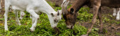 Photo horizontal image of goat and cub eating grass while pasturing on farm