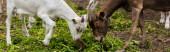 horizontální obraz koz a mláďat jedoucích trávu při pastvě na farmě
