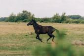 boční pohled na hnědého koně běžícího na travnatých pastvinách, selektivní zaměření