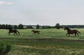 boční pohled na koně a hříbě cválající na pastvinách