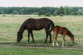 boční pohled na hnědý kůň s hříbě jíst zelenou trávu při pastvě na poli