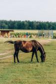 boční pohled na hnědý kůň jíst zelenou trávu při pastvě na ranči