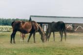 hnědé koně jíst zelenou trávu, zatímco pastviny na poli v blízkosti stodoly