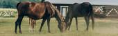 szelektív fókusz a barna lovak eszik füvet legeltetés közben a területen, panoráma lövés