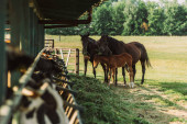 selective focus of horses with colt near cowshed and hay on farm