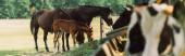 selektiver Fokus von Pferden mit Jungtieren, die Heu auf dem Hof fressen, horizontales Bild
