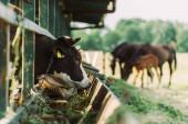 selektivní zaměření černé a bílé skvrnité krávy jíst seno z jeslí v kravíně