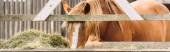 horizontální obraz hnědého koně s bílou skvrnou na hlavě jíst seno z jeslí
