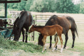 brown horses with cub eating hay on ranch