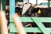 selective focus of black and white cow with yellow tag in cowshed