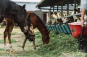 geschnittene Ansicht von Landwirt in der Nähe von Pferd und Hengst fressen Heu in der Nähe von Kuhstall auf Bauernhof