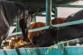selektivní zaměření hnědého koně u krav v kravíně na farmě