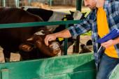 oříznutý pohled na rančer se schránkou dotýkající se hlavy krávy na farmě