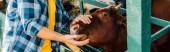 oříznutý pohled na rančer v kostkované košili dotýkající se hnědé krávy, horizontální koncept