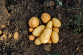 Photo top view of potato tubers on ground in field