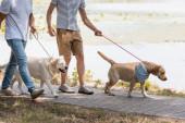 oříznutý pohled na otce a dospívajícího syna držícího vodítka při chůzi se zlatými retrívry u jezera