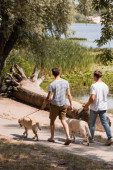back view of father and teenager son holding leashes while walking with golden retrievers near lake