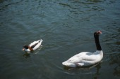 Fotografie wild duck and swan swimming on river