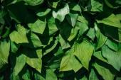 zelené listy pozadí s slunečního světla a stínu