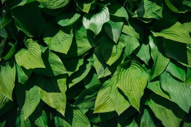 green leaves background with sunlight and shadow