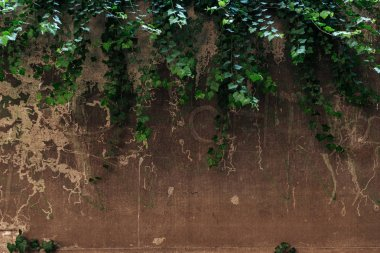 old cracked brown wall and green leaves background