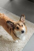 Fotografie cute corgi puppy standing on carpet and looking up