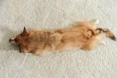 Fotografie top view of corgi dog lying on carpet