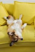 imádnivaló corgi kutya feküdt a hátán a sárga kanapé