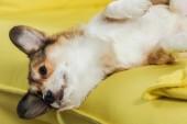 Detailní záběr rozkošný corgi pes ležící na zpět na žluté pohovce