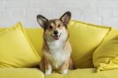 aranyos corgi kutya otthon sárga fotelben ülve, és látszó-on fényképezőgép