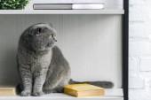 Fotografie rozkošný šedé scottish fold kočka sedí na polici a hledat dál