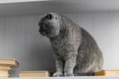 aranyos Skót Karám macska ül a könyvespolc, és keres el